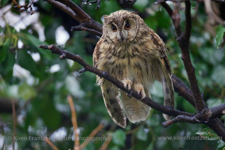 Long-eared Owl (Asio otus) trying to frighten me.  koenfrantzen.com