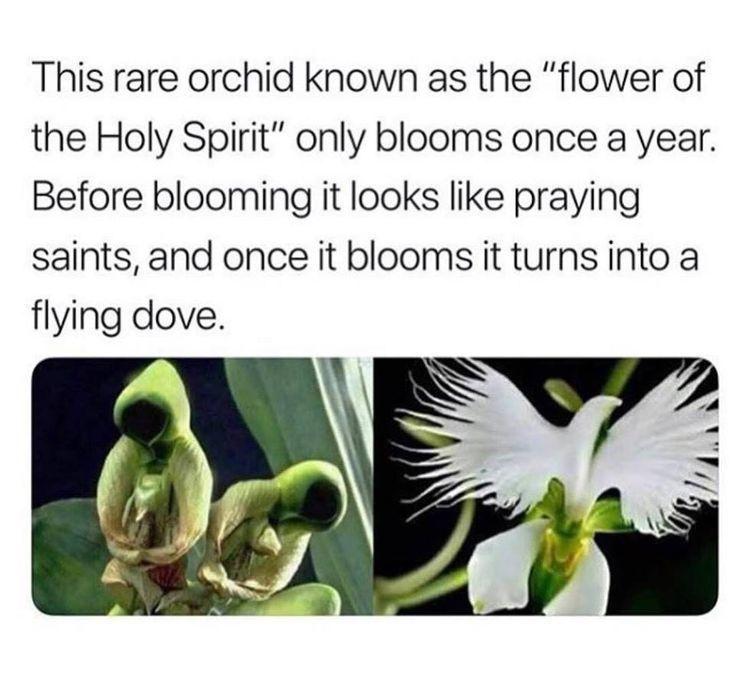 Rare Orchid Flower Of The Holy Spirit Flower Holy Orchid Rare Spirit In 2020 Rare Orchids Fun Facts Plants