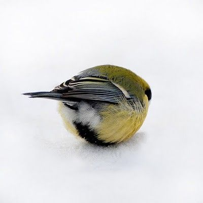 fat-birds: roachpatrol: birdcagewalk: lindasinklings:tucked in. via (onceuponawildflower) ALL HAIL THE BIRD ORB eeee look at the little...