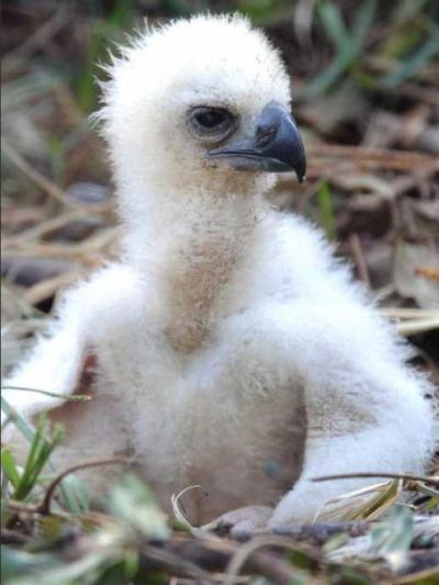 Last Month The Miami Metrozoo Became Second Zoo In United States Ever To Breed A Rare Harpy Eagle Since Baby Mortality Rates Are High