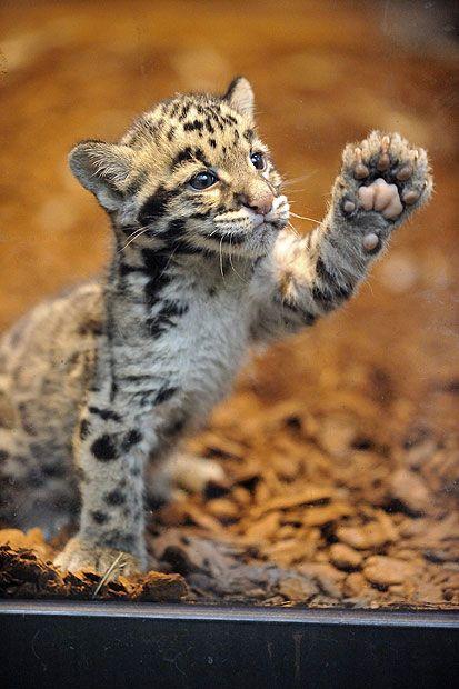 Un saluto felino - Cucciolo di leopardo nebuloso (Neofelis nebulosa)