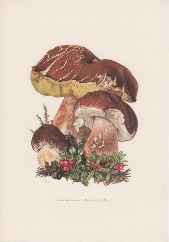 1961 Pine Bolete Mushroom, Botanical Print, Vintage Lithograph, Boletus pinicola, Boletus pinophilus, Boletus edulis, Pilz, Fungi, Fungus