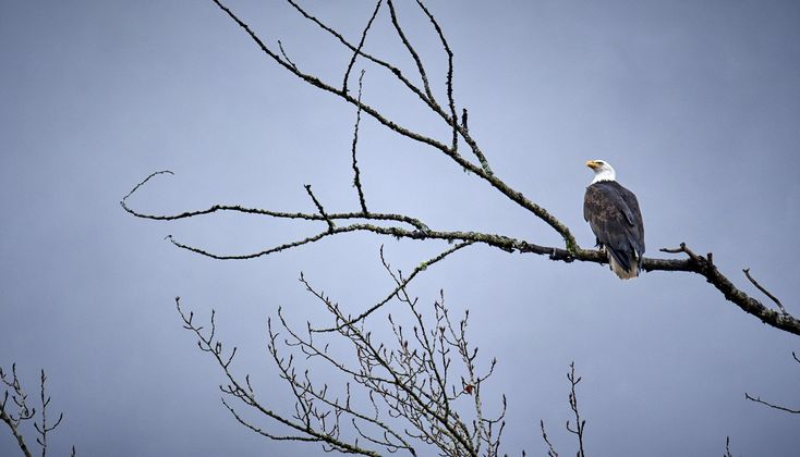 #baldeagle at #goldstreampark looking proud.