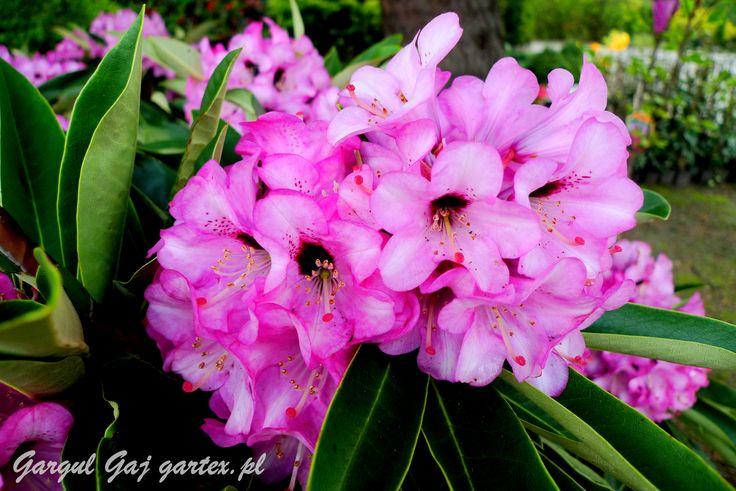 Rhododendron Gargul Gaj Gartex