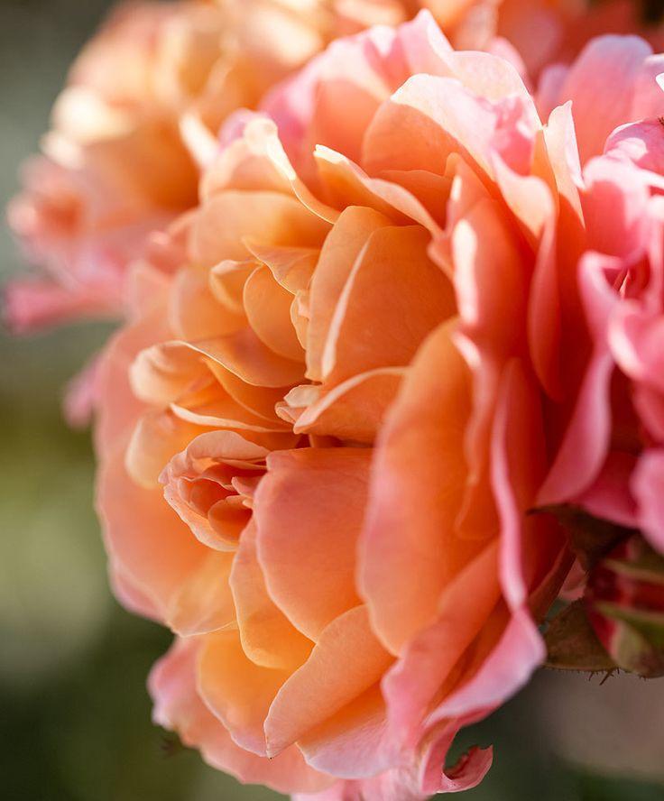 153 best rosor roses images on pinterest flowers. Black Bedroom Furniture Sets. Home Design Ideas