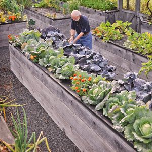 "Jerry Finkelstein at his 3-foot high raised beds -- the beds are built on a base of milk crates or plastic barrels, with 10"" of soil on top. It's an ingenious system to get the beds to counter height for easy weeding and harvesting."