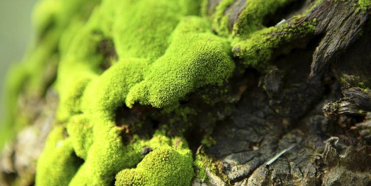 Mosses and lichens are both simple organisms we've all seen growing on trees and rocks. Mosses are defined as simple plants with the most basic of root structures, leaves, and stems. Lichens …