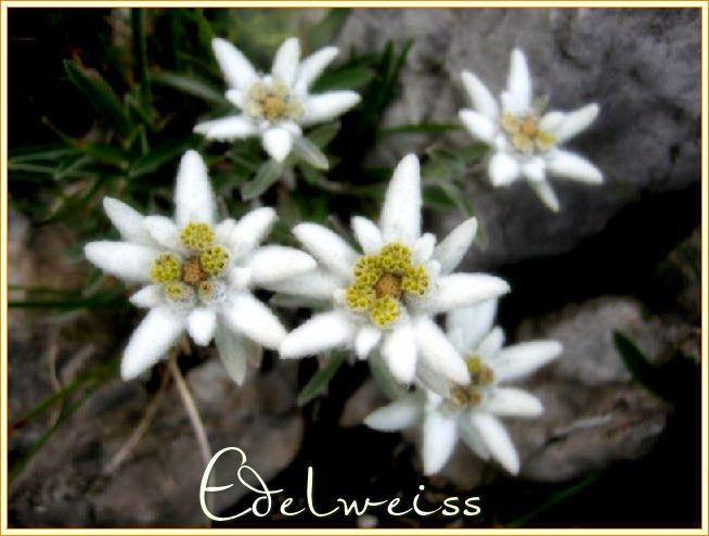 Persa nel Blu: EDELWEISS - STELLA ALPINA