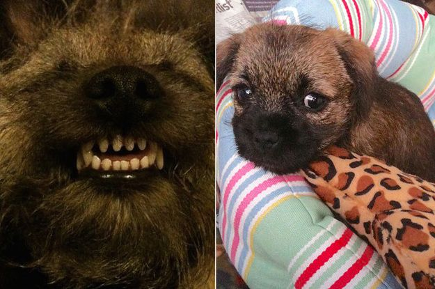 23 Reasons You Should Never Adopt A Border Terrier Pitbull