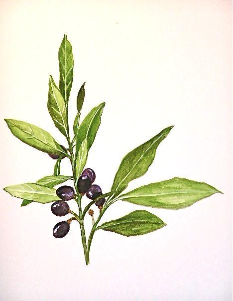 laurel fruits watercolor on paper oct 2014