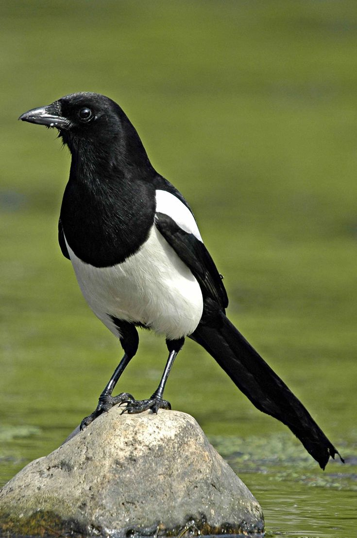 Black billed Magpie which I used for tracing in order to gain a better understanding of the shape of a magpies body