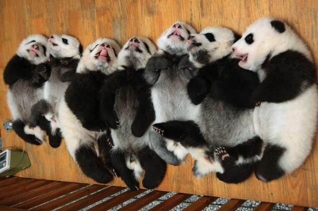 Your dose of cuteness for the day... Might last you through the weekend too, so adorable! Happy Friday. Stay Cute and Happy! :-) #pandas