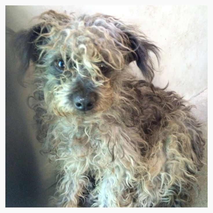 A473224 Release Date 9 30 I Am A Male Gray And Black Poodle Toy Mix Shelter Staff Think I