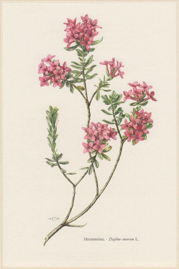 1960 vintage Stampa Botanica, Daphne cneorum, Rose Daphne, fiore Garland, arte floreale, illustrazione botanica, Home decorazione della parete, Seidelblast