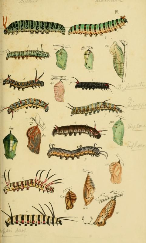Caterpillar and chrysalis. Plate from 'A Catalogue of the Lepidopterous Insects in the Museum of the Hon. East-India Company.' By Thomas Hor...