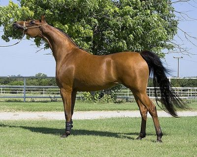 Arabian Horse Pictures and Information