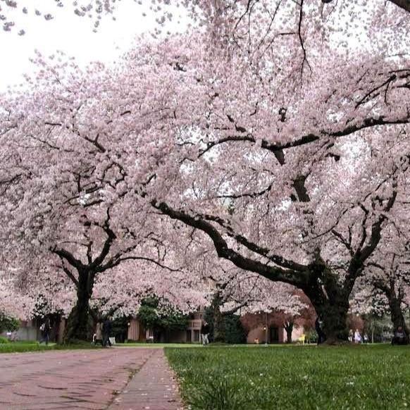 Yoshino Cherry Tree In 2021 Yoshino Cherry Tree Yoshino Cherry Cherry Tree