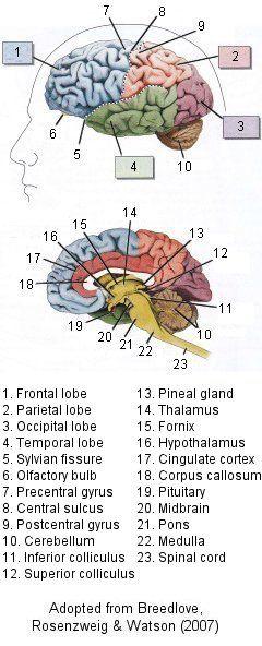 Gross neuroanatomy - major brain structures. Adapted from Breedlove, Rosenzweig and Watson(2007)