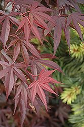 Skeeter's Broom Dwarf Japanese Maple (Acer palmatum 'Skeeter's Broom') at Stein Gardens & Gifts