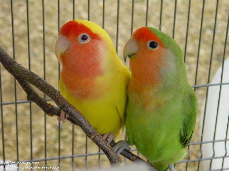 Téléchargement du fond d'écran d'oiseaux perruche, en 800 pixels de large. Référence 25335