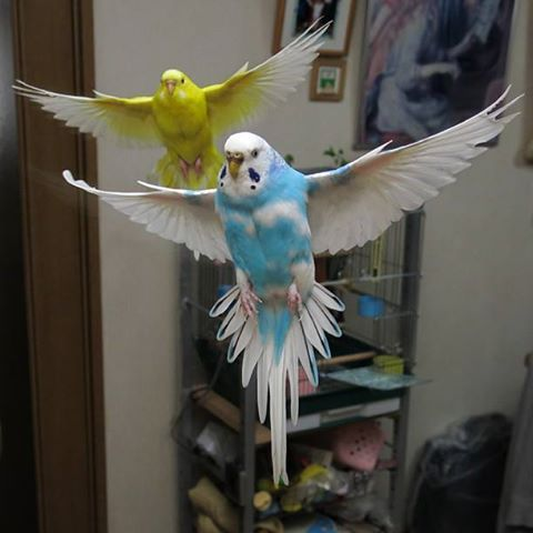 Beautiful Budgies in flight