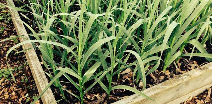 Wie kann man Knoblauch anpflanzen und worauf sollte man dabei unbedingt achtn? All das und mehr kannst du hier nachlesen!