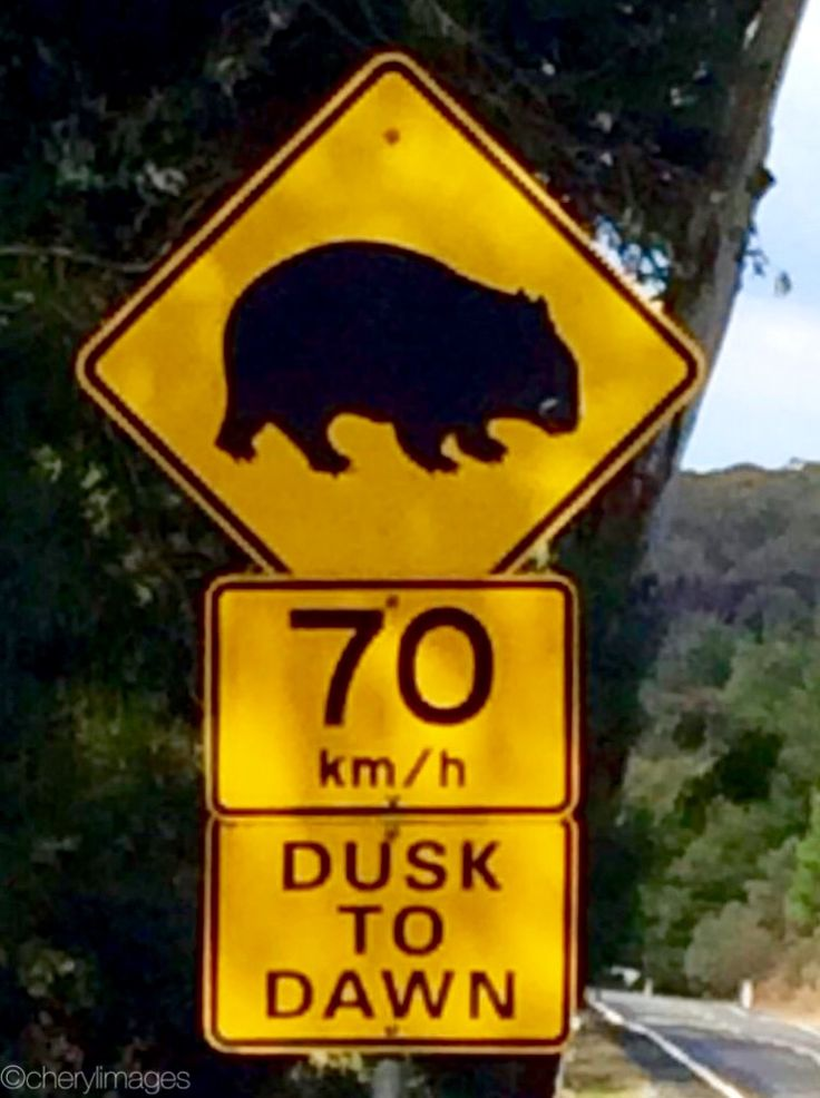 Wombats reaching speeds of 70kms? Not likely.    Daylesford, Victoria - May, 2015