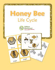Life Cycle of a Honeybee- 3 Part Cards and Life Cycle chart with color illustrations and blacklines too. {FREE}