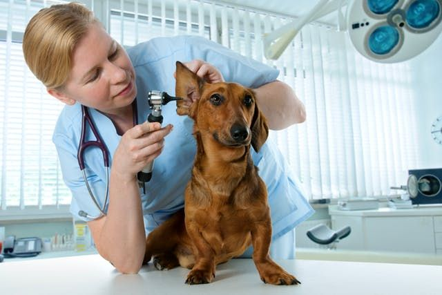 9 Ways To Get Cheap Or Free Veterinary Care For Your Pet Dogs Ears Infection Sick Dog Veterinary Care