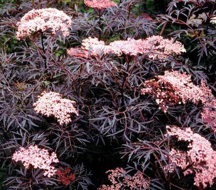 Sambucus nigra 'Black Lace'. Rödbladig fläder. Robust växtsätt. 2-2,5 m. Fiflikigt mörkt purpurfärgat bladverk. Citrondoftande ljusrosa blommor i juni. Ätliga bär. Halvskugga. uli-september (jas-perioden) och på vårvintern. Beskärningssätt: Gallra ut äldre grenar från basen och gallra ut äldre grenar på olika höjder. Näringsrik jord och väldränerad jord. Planterad augusti 2014.