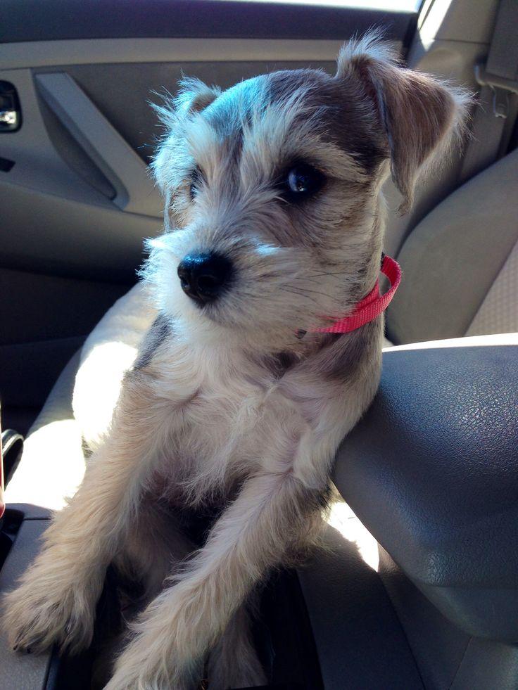 Maggie #schnauzer #puppy