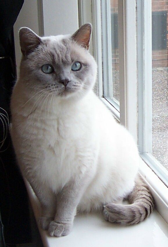 Pin By Michael Galvin On Ninepoint Oc Beautiful Cats British Shorthair Cats Cat Breeds