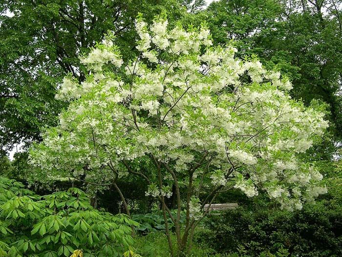 White Fringe Tree grows 15-20 feet high and 20-25 feet wide.A highly prized small tree with upright branches forming a dome shape. Soft green leaves back magnificent clusters of fragrant, fringe-like blooms. A terrific accent for small yards. Deciduous.