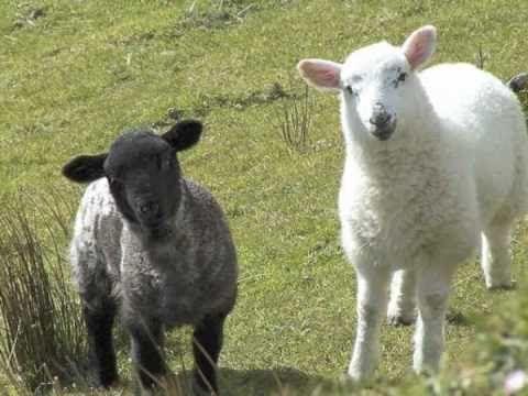 ▶ Kinderliedje met beeld: Schaapje, schaapje, heb je witte wol? - YouTube
