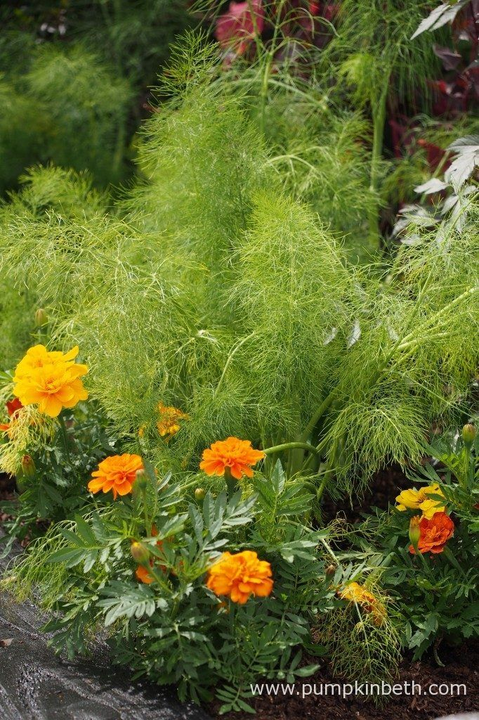 Marigolds and fennel, pictured in the RHS Kitchen Garden, at the RHS Hampton Court Palace Flower Show 2017.