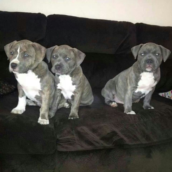 Razor Edge and Gotti pitbull female puppies for sale