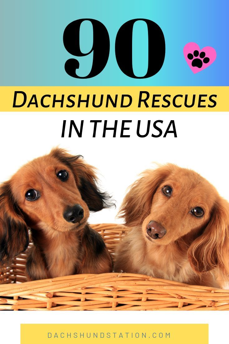 Top 90 Dachshund Rescues In The Usa Dachshund Rescue Dachshund