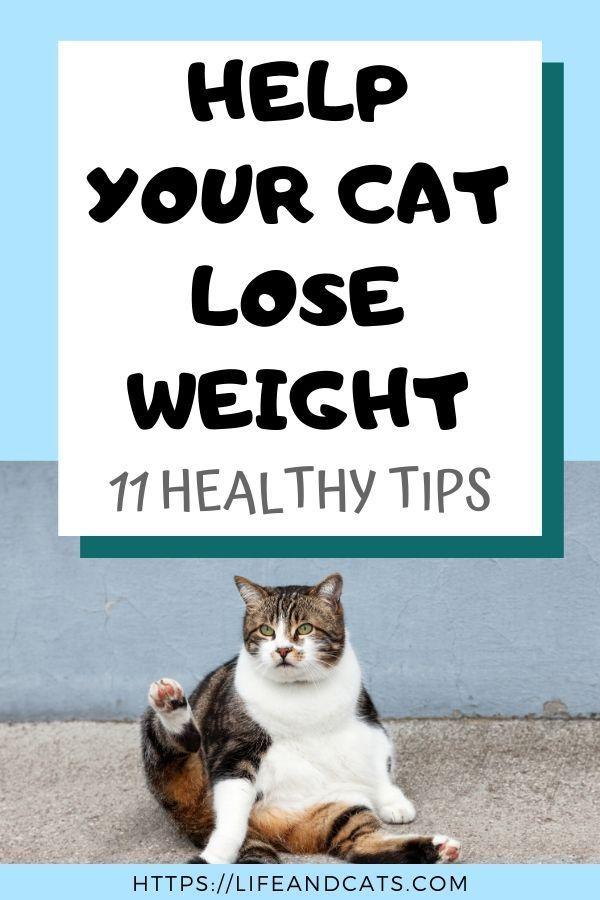 283466be5acabeba9461000c6d04e4f8 - How To Get My House Cat To Lose Weight