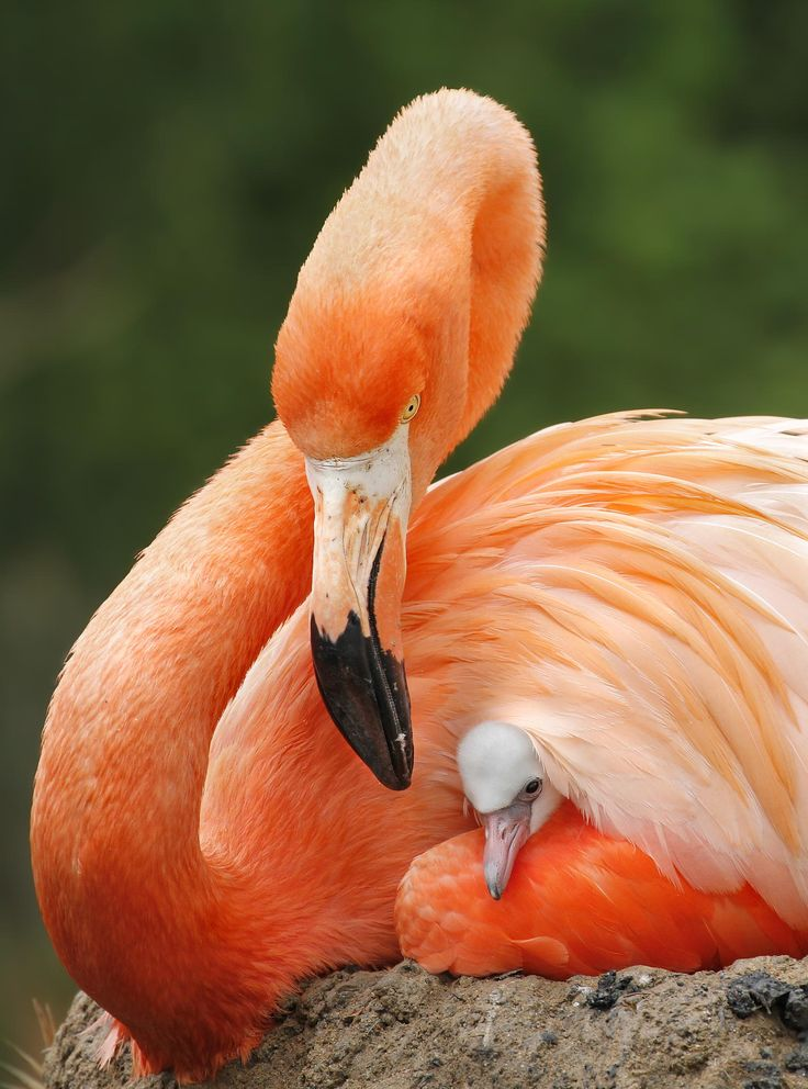 Flamingo mother and chick