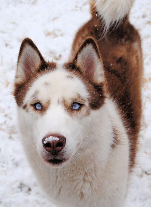 Piebald Siberian Husky Siberianhusky Piebald Dogs Saint