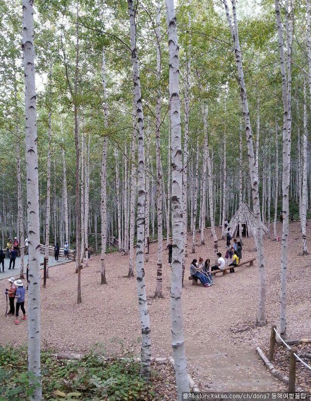 강원도 인제 자작나무숲 : 순백색의 아름다움을 간직한 자작나무 명품 힐링숲