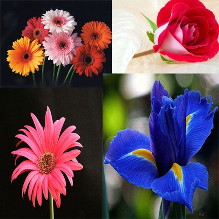#Flowers are touching gift to give someone. Send variety of flowers with chocolates when you want to express your feelings to someone from flowersukdelivery. We send flower like #Roses, #Daises, #Tulips and #Lilies, #Orchids to UK. Order for flowers and other gifts delivery to UK from flowersukdelivery