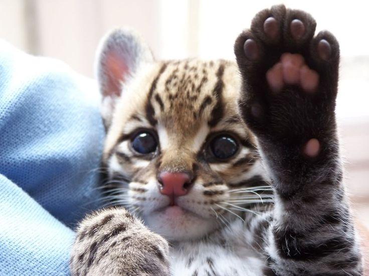 Ocelot- so adorableBig Cat, High Five, Animal Right, Babyocelot, Polar Bears, Baby Ocelot, Adorable, Kittens, Kitty