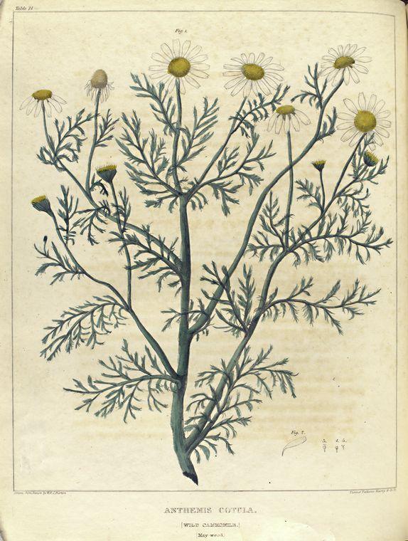 Anthemis cotula. (wild chamomile. May-weed). Barton, William 1818-1825