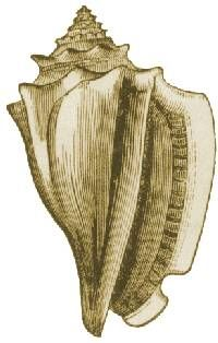 Google Image Result for http://upload.wikimedia.org/wikipedia/commons/2/2b/Conch_drawing.jpg