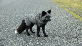 Black Fox siyah bere satın al paper faces n11.com
