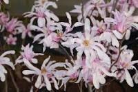 https://kielkowski-szkolka.pl/produkt/magnolia-loebnera--leonard-messel--magnolia-loebneri--leonard-messel--648