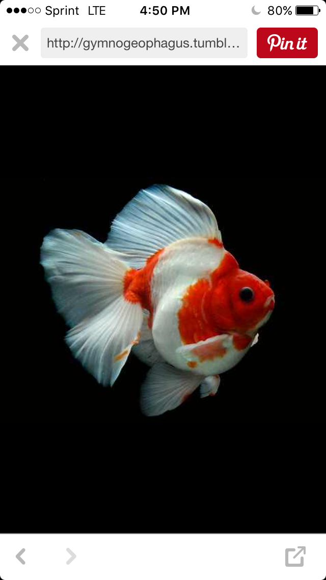 311 Best Goldfish And Koi Images On Pinterest Fish