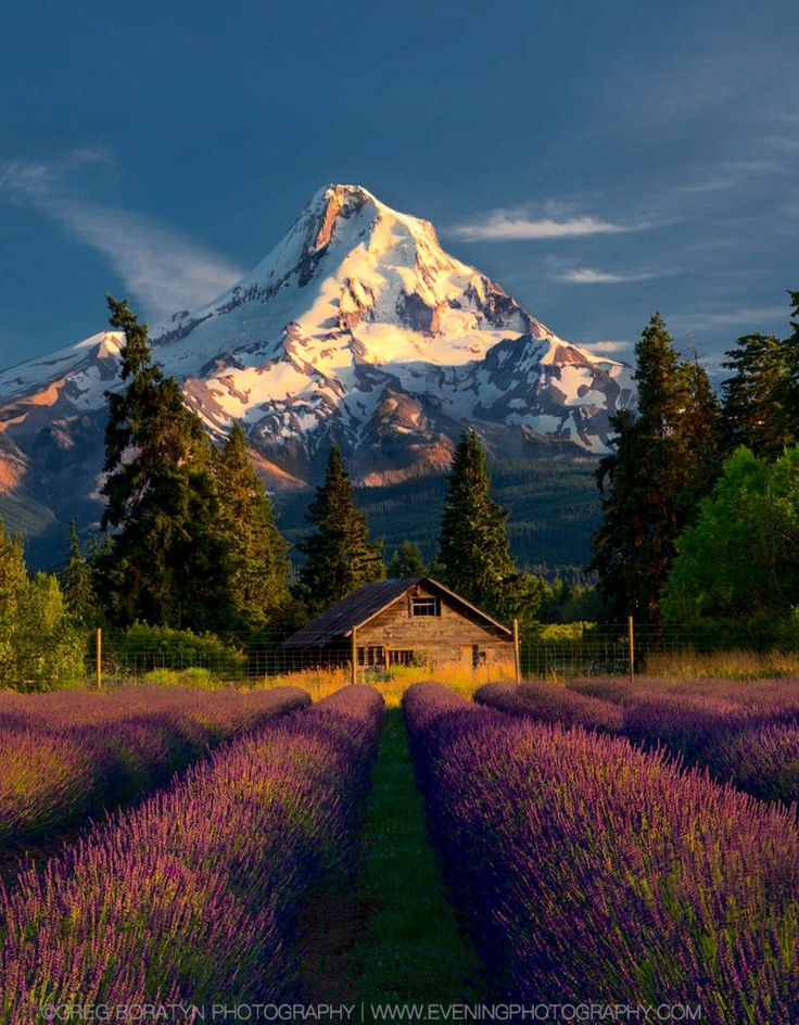 Mt Hood and lavender fields Oregon by