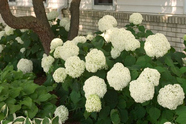 6 Shrubs Made for Semi-Shade | Michigan Gardening Magazine eNewsletter